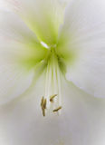 White Hibiscus with rare green center Royalty Free Stock Photography