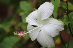 White Hibiscus Stock Images