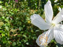 White Hibiscus- Shoeflower. In Coorg India Royalty Free Stock Photo