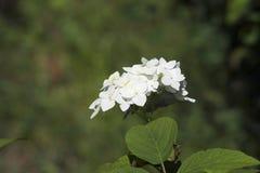 White hidrangea stock photos
