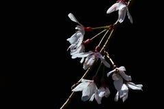 White Higan cherry tree Prunus subhirtella flowers blooming during the spring on dark background Stock Image