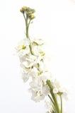 White high key. White flower on white background royalty free stock image