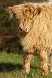 White Highland calf Royalty Free Stock Photos
