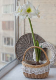 White Hippeastrum in  basket Royalty Free Stock Photography