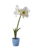 White Hippeastrum in blue pot on a white background Royalty Free Stock Photo