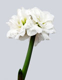 White Hippeastrum on gray Royalty Free Stock Image