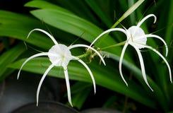 White Hippeastrum johnsonii Bury. In Thailand stock photos