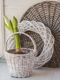 White Hippeastrum in a white basket Royalty Free Stock Photography