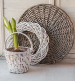 White Hippeastrum in a white basket Royalty Free Stock Images