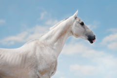 White a hkhal-teker horse portrait on the sky background Stock Photos