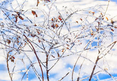 White hoarfrost on the branches of spirea Stock Image