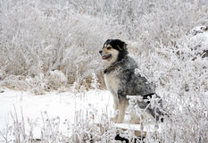 White hoarfrost and dog Stock Photo