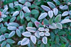 White hoarfrost on green leaves of oregon grape Royalty Free Stock Image