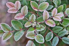 White hoarfrost on green leaves of oregon grape Royalty Free Stock Images