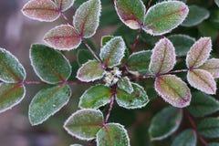 White hoarfrost on green leaves of oregon grape Stock Images
