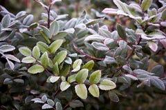 White hoarfrost on green leaves of oregon grape Stock Photos