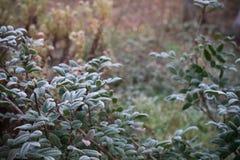 White hoarfrost on green leaves of oregon grape stock photo