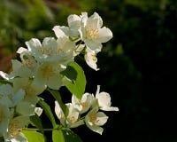 White hoary mock orange, philadelphus pubescens. A branch of beautiful white hoary mock orange, philadelphus pubescens flowers Stock Photography
