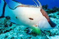 White Hogfish lachnolaimus maximus on coral reef Royalty Free Stock Photography