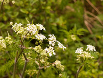 White Hogweed in the Spring Time Heat and Light Looking Peaceful Stock Image