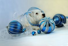 White Holiday puppy in Blue. White Jack Russell in blue and silver holiday deco Stock Photos