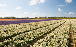 White Hollandse Hyacinthus. Row of the blooming hyacinth against blue sky stock photos