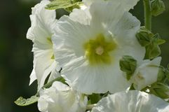White hollyhock stock photography