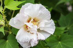 Beautiful white hollyhock flowers .Althaea officinalis. White hollyhock flowers . Beautiful flower in the garden.Floriculture stock photo