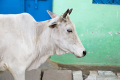 White Holy Cow. White Holy Sacred Cow standing in front of a green wall, India Royalty Free Stock Images