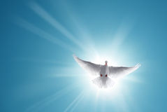 White Holy Dove Flying in Blue Sky Royalty Free Stock Photo