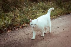 White homeless beautiful cat walking down the road, staring and squinting, close up. A lonely stray cat is looking for a house. White homeless beautiful cat stock photos