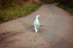 White homeless beautiful cat walking on the road, staring and squinting. A lonely stray cat is looking for a house and a owner. Front view. Summer evening royalty free stock photography