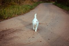 White homeless beautiful cat walking on the road, staring and squinting. A lonely stray cat is looking for a house and a owner. Front view. Summer evening stock photo