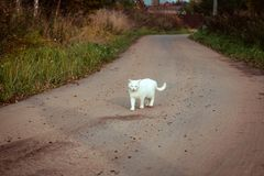 White homeless beautiful cat walking on the road, staring and squinting. A lonely stray cat is looking for a house and a owner. Front view. Summer evening stock images