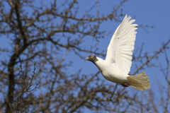 White homing pigeon flies among thorns Stock Photos