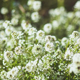White honey flowers in the summer garden Royalty Free Stock Photo