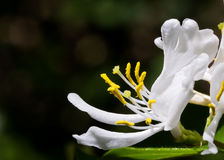 White Honeysuckle Blossom Stock Photography