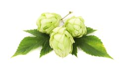 White hop flowers with leaves. Royalty Free Stock Photography