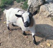 Goat mini version stock photos