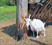 White horned goat on the farm Royalty Free Stock Image
