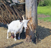 White horned goat on the farm Royalty Free Stock Photo