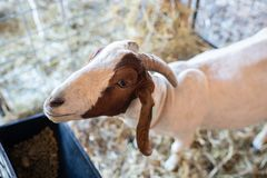 White horned goat on the farm royalty free stock images