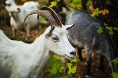 White horned goat grazing in the forest Royalty Free Stock Image