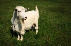White horned goat Stock Photo