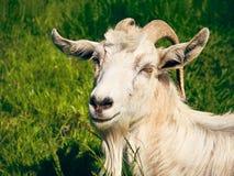 White horned goat Royalty Free Stock Photos