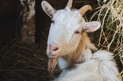 White horned goat resting in a barn royalty free stock images