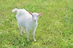 White hornless goat Stock Photography