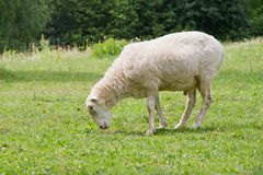 White hornless ram. Grazing in the meadow stock photography
