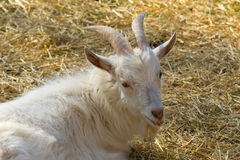 White horny goat Stock Photography