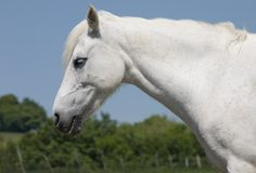 Free White Horse 1 Stock Images - 855934